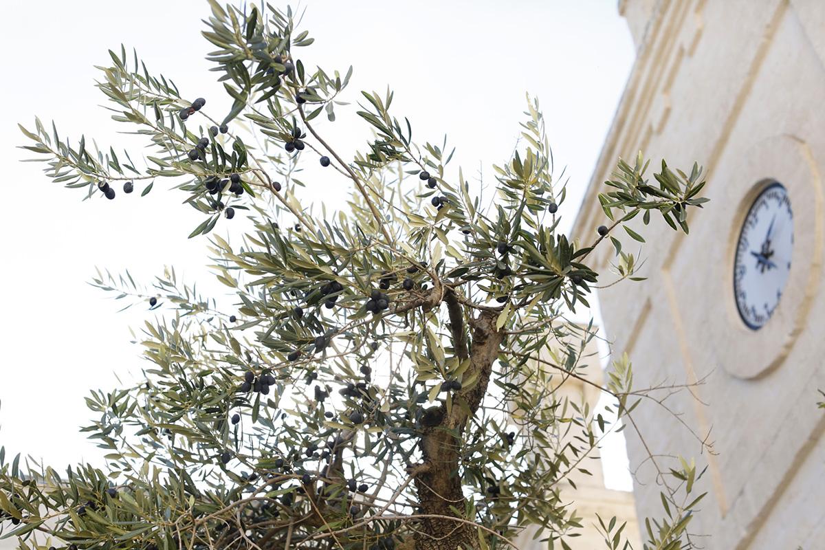 الكنيسة وشجرة الزيتون في بوليا مذكرات السفر belathee