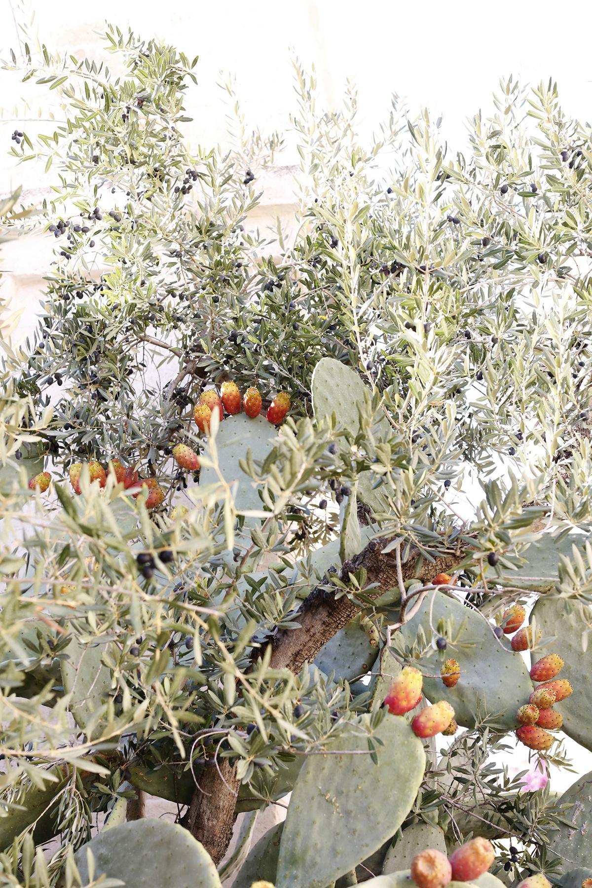 أشجار الصبار والزيتون بوليا