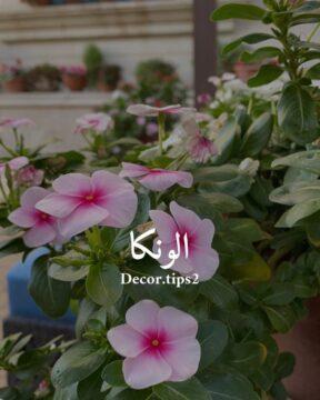 . الونكا ونكاروزفنكابفتةكلها مسمى واحد لهذه الزهرة التي تكره الري الزائد وتحب ا